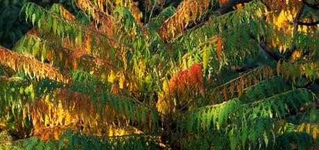 Vergeet de palm, een Rhus is ook exotisch én winterhard