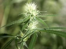Westland popelt om medicinale wiet te produceren