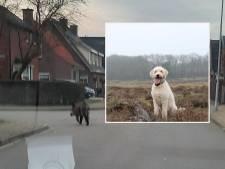 Loslopend zwijn met bebloede snuit schrikt Lunteren op: 'Hij kwam als een stier op onze hond af'