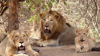 In drie weken tijd 21 leeuwen gestorven in dierenpark India