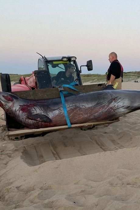 Une baleine s'échoue sur la plage de Wenduine