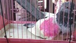 """India laat 'gearresteerde' spionnenduif vrij: """"Vogel was onschuldig"""""""