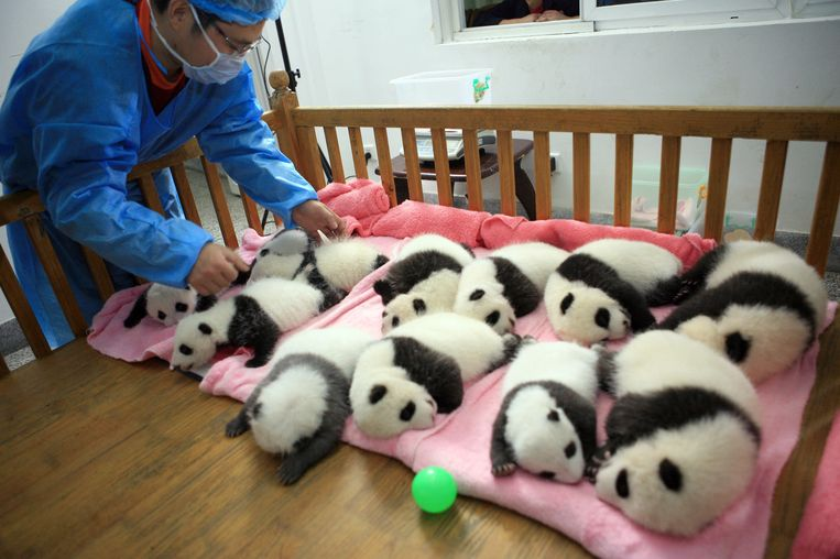This photo taken on September 26, 2011 shows a keeper tucking in a group of giant panda cubs as the nap at a nursery in the research base of the Giant Panda Breeding Centre in Chengdu, in southwest China's Sichuan province.  China has launched its once-a-decade panda census, trying to determine how many of the endangered animals live in the wild amid efforts to boost numbers. The census -- the fourth since it was first launched in the 1970s -- is also expected to ascertain pandas' living conditions, ages and any change in habitat, and according to the count a decade ago, there are 1,596 pandas left in the wild in China, with 1,206 of them living in Sichuan.      CHINA OUT      AFP PHOTO Beeld AFP