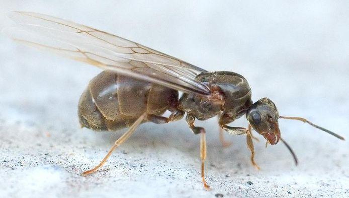 De Haagse binnenstad is getroffen door een plaag van vliegende mieren.