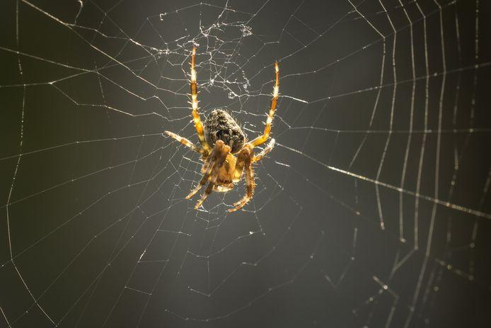 De kruisspin is in tegenstelling tot veel andere spinnen geen schuwe soort.