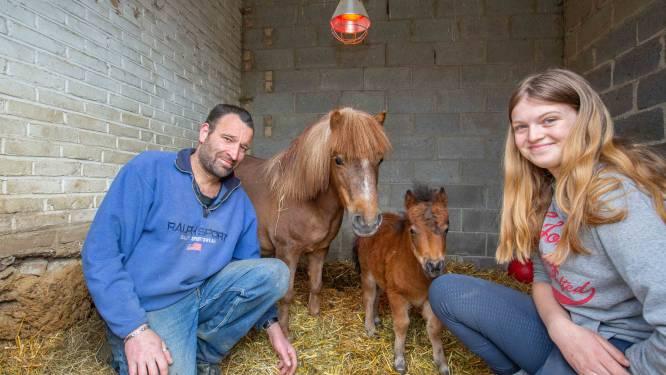 """Verstoten veulentje en pony die miskraam had vinden nieuwe thuis bij elkaar: """"Mirakel dat Patatje weer de moederrol opneemt"""""""