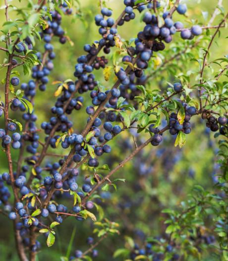 'De wilde fruithaag kun je beter vervangen door een tamme'