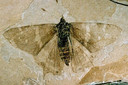 Het oudste bekende vlinderfossiel, Prodryas.