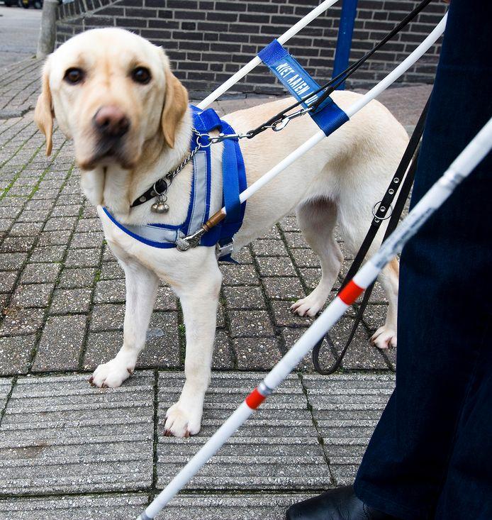 Delphy begeleidt de blinde Suzanne van den Bercken.  Een groep studenten van de HAS Hogeschool in Den Bosch onderzocht de mate van beweging en rust bij assistentiehonden als Delphy in vergelijking met huishonden.