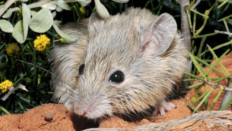 Shark Bay Mouse Beeld Australian Wildlife Conservancy, Wayne Lawler