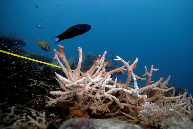 Veel koraalriffen kunnen slecht tegen de (aanhoudende) hitte in Noord-Amerika, en verbleken bij hoge temperaturen. Beeld REUTERS