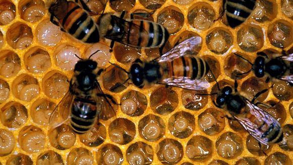 Door uitlaatgassen verliezen honingbijen hun reukzijn en kunnen ze geen voedsel meer vinden.