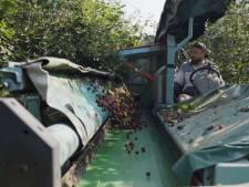 Boerschappen en ZLTO helpen Limburgse kersenteler: verregende morellen geperst tot puur kersensap