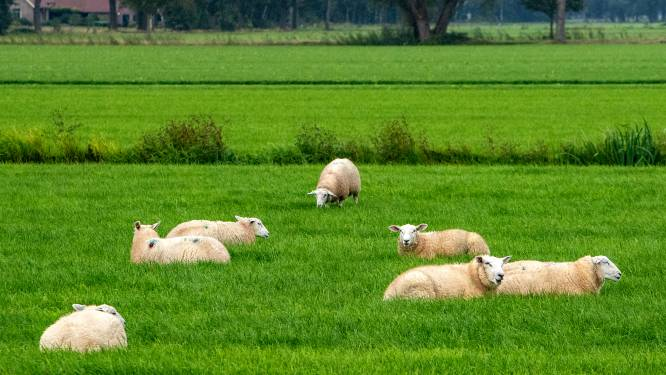 Wat kunnen Sallandse schapenhouders doen tegen wolf? 'Met een beschermingshond heeft de wolf direct in de gaten dat het serieus is'