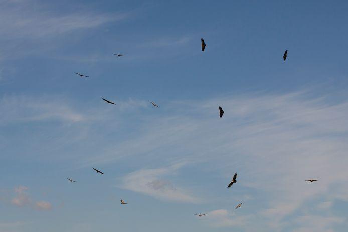 Veertien vale gieren zweven boven De Maashorst.