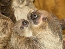 Geboorte van een luiaard komt voor Tierpark Nordhorn altijd weer als een verrassing