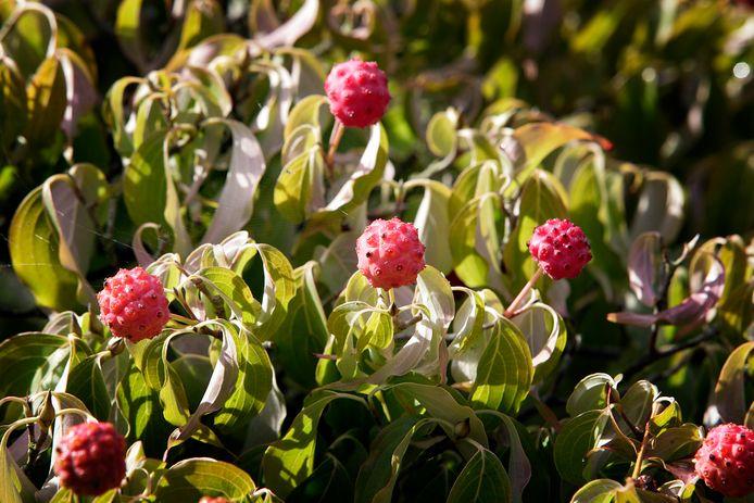 In de herfst kleuren de besjes van de ampelopsus glandulosa turkoois, blauw en paars.