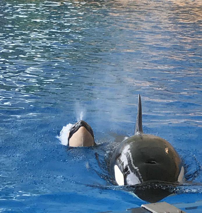 Morgan en haar zaterdag geboren kalfje zwemmen rond in een van de bassins van Loro Parque op Tenerife.