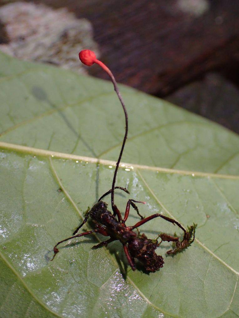 Een mier die ten prooi is gevallen aan een Ophiocordyceps-schimmel. Als de schimmel de mier heeft leeggevreten, barst er een paddenstoel uit zijn dode kop. Beeld Susanne Sourell