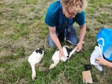 Jonge ooievaars met  behulp van hoogwerker geringd in Heteren