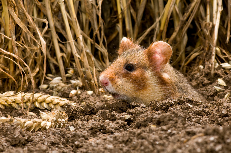 De Europese hamster of korenwolf is volledig afhankelijk van bescherming. Herstel is mogelijk als er voldoende leefgebied wordt gecreëerd. Beeld Hollandse Hoogte / Buiten-Beeld