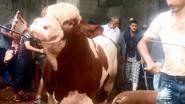 GAIA eist actie van Europa met choquerende beelden van dierenmishandeling op veetransporten