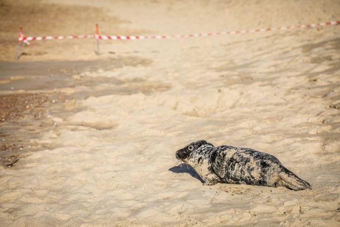 Zeehondje rust uit op het strand van Oostende.