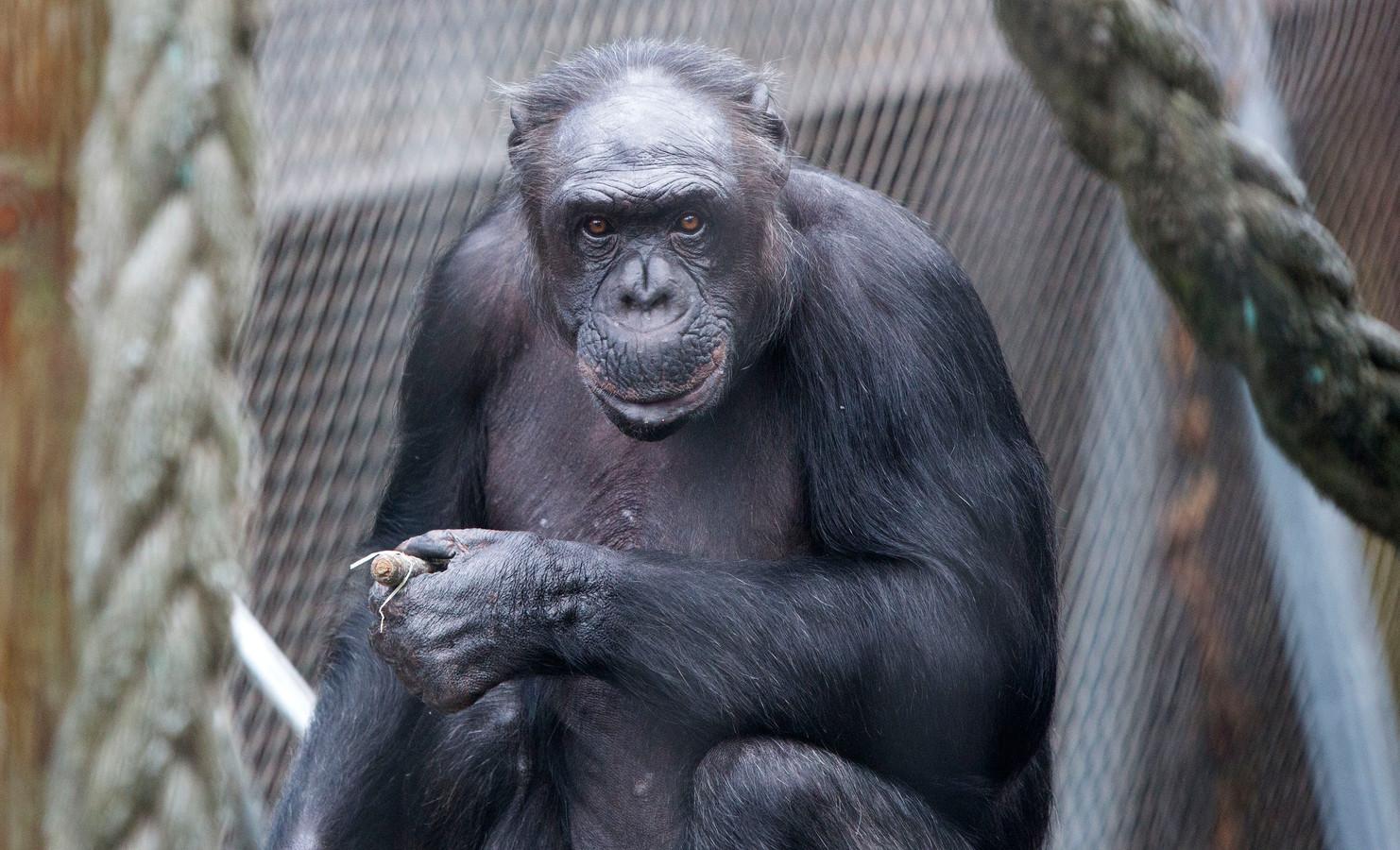 Chimpansee Fiffy.
