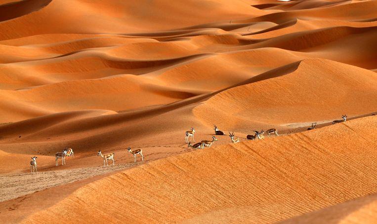 Het gebied van de Arabische Oryx in Oman werd in 2007 als eerste gebied van de Unesco-lijst gehaald. Beeld AFP