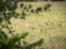 Licentiestropers maken onder wild veul meer  slachtoffers dan honden