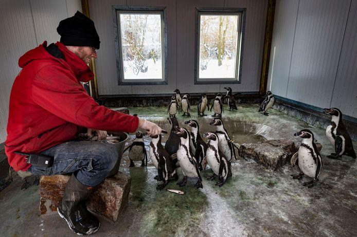Dierenverzorger Martijn voert haringen aan pinguïns in Dierenrijk Mierlo.