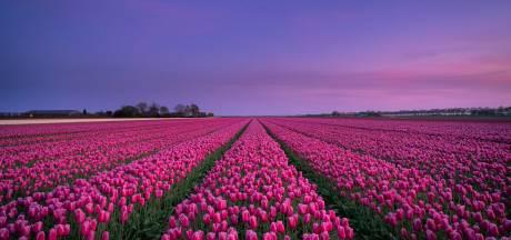 Inwoners bepalen naam nieuwe tulpensoort uit Dronten: 'Mooi om plaats te eren'