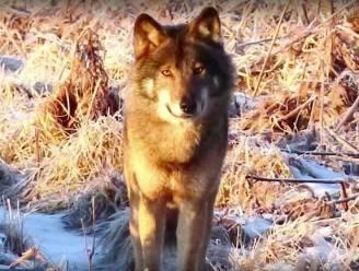 Volgend jaar wolvenwelpen in de Hoge Venen? Wolf Akela heeft partner