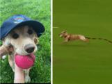Hond steelt bal tijdens cricketwedstrijd in Noord-Ierland en veroorzaakt chaos