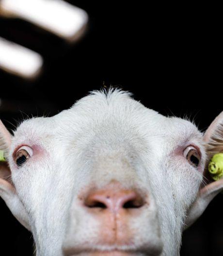 Nieuwe vergunning: minder geiten in stallen aan Molenstraat in Hurwenen