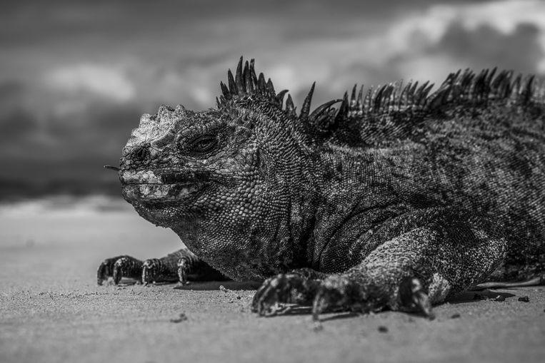 De zeeleguaan leeft alleen op de Galápagoseilanden.  Beeld Hollandse Hoogte / EyeEm
