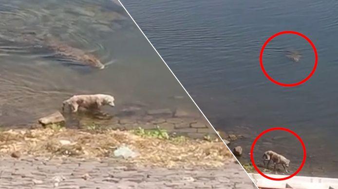 Krokodil besluipt hond die aan het drinken is.