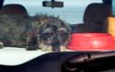 Een hond loopt veel risico in een hete auto.