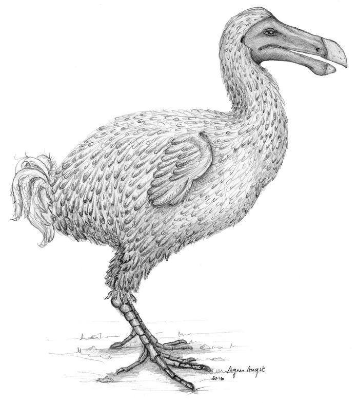 Deze tekening, die gisteren werd gepubliceerd door het wetenschappelijke vakblad Nature, toont een reconstructie van de uitgestorven dodo.