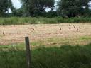Ook deze fazanten zoeken een van de schaarse droge plekken in de uiterwaard op.