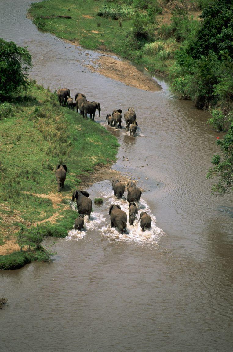 Een olifantenkudde steekt een rivier over in het Virunga National Park in Congo. Stropers zetten zelfs antitankraketten in om de dieren af te knallen. Beeld Carmen Redondo / CORBIS