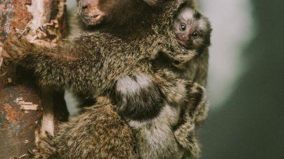 Olmense Zoo zoekt namen voor pasgeboren aapjestweeling