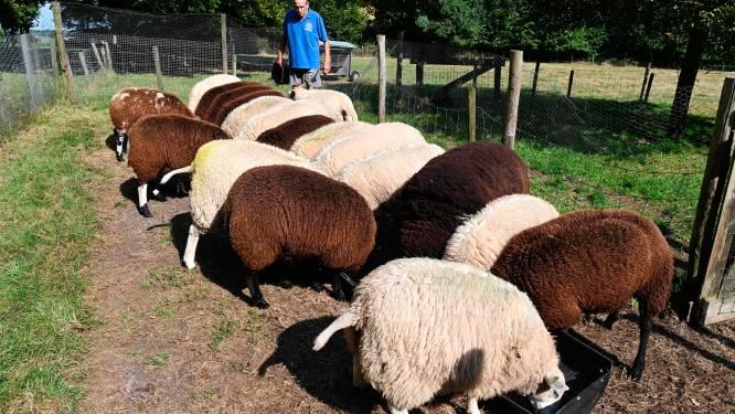 Rottweilers van buurman bijten keer op keer de schapen van Bert (86) in Dedemsvaart dood: 'Doe wat!'