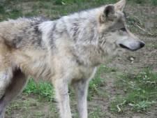 Wolf lijkt te hebben toegeslagen in Boekel en Venhorst: meerdere schapen dood