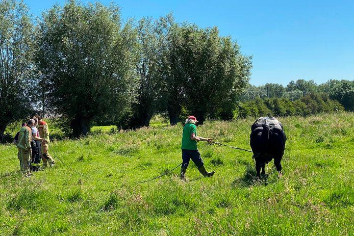 Eigenaar Guido Focquet was blij toen stier 'Juleke' eindelijk terug op het droge stond.