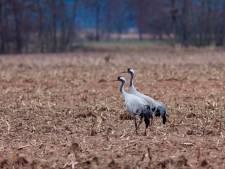 Kraanvogels uitgevlogen in Wierdense Veld, Hortmeerweg weer open
