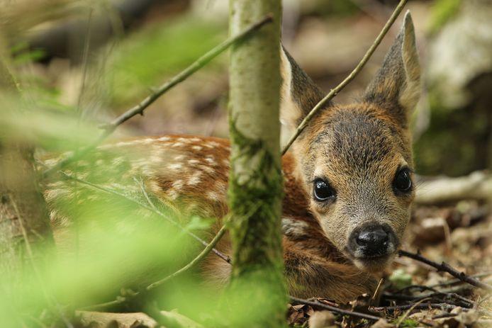Hoe schattig ze je ook aankijken, laat eenzame jonge beesten, zoals dit reekalfje, met rust.