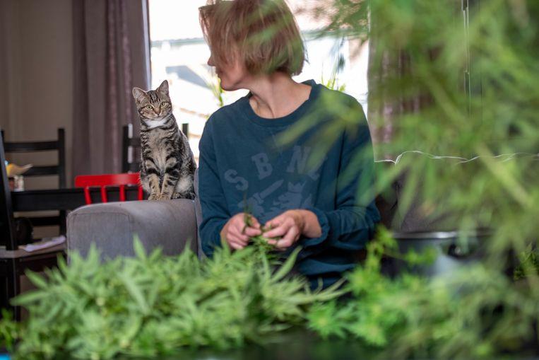 Wietplanten worden geoogst. Beeld Hollandse Hoogte / Patricia Rehe