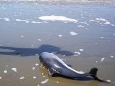 Na verdrinking bruinvis roept Partij van de Dieren op tot verbod staandwantvisserij