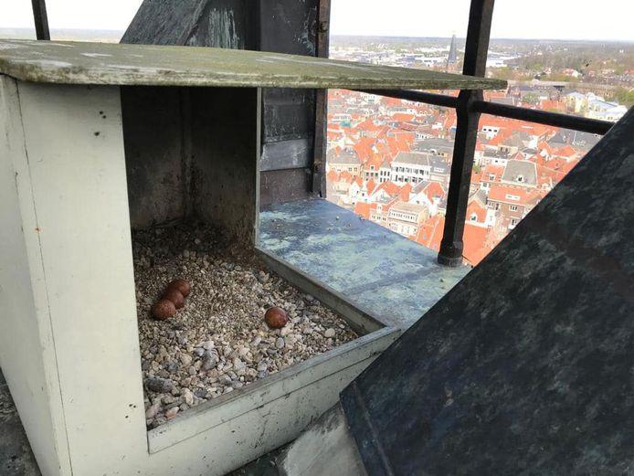 Het nest van de slechtvalken dit jaar. Een ei (r) is afgestoten door het broedpaar. Volgens de experts is de reden onduidelijk.